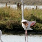 Flamingo_4201